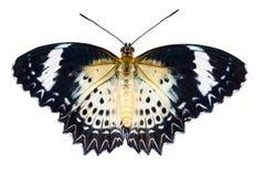 Hembra de la mariposa del lacewing del leopardo en el fondo blanco Imagen de archivo libre de regalías