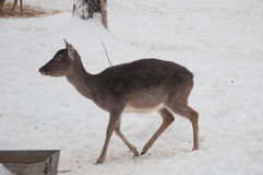 Hembra de los ciervos de Brown Imagen de archivo