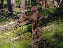 Hembra de los ciervos de huevas Imágenes de archivo libres de regalías
