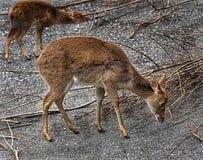 Hembra de los ciervos del ` s de Eld Fotografía de archivo libre de regalías