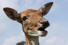 Hembra de los ciervos en barbecho Imagenes de archivo