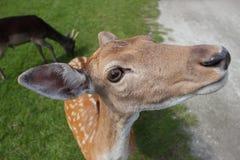 Hembra de los ciervos en barbecho Fotos de archivo