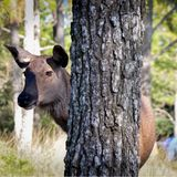 Hembra de madera de los ciervos Fotografía de archivo