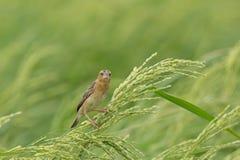 Hembra de oro asiática del tejedor en el campo del arroz imagenes de archivo