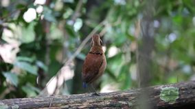 Hembra de Pitta del gigante en Borneo almacen de video