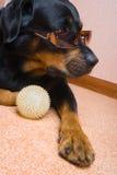 Hembra de un perro de la casta un Rottweiler contra nieve Fotografía de archivo