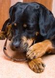 Hembra de un perro de la casta un Rottweiler contra nieve Foto de archivo libre de regalías