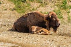 Hembra del bisonte con un becerro Fotografía de archivo
