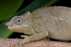 Hembra del camaleón de Fischer Imagen de archivo