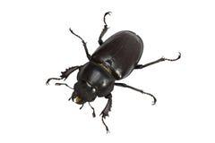 Hembra del escarabajo de macho (Lucanidae Latreille) fotografía de archivo