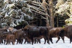 Hembra del europeo salvaje Brown Bison Bison Bonasus In Winter Pine Forest Adult Aurochs Wisent, símbolo de la república de B Fotos de archivo libres de regalías