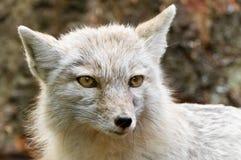 Hembra del Fox de la nieve Fotos de archivo