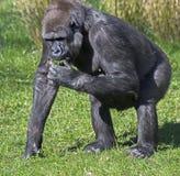 Hembra del gorila foto de archivo libre de regalías