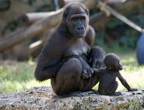 Hembra del gorila con el bebé Imagenes de archivo
