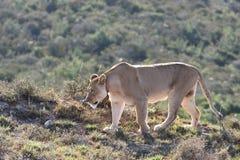 Hembra del león Fotos de archivo libres de regalías