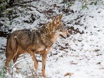 Hembra del lobo en la nieve en invierno en España Imágenes de archivo libres de regalías