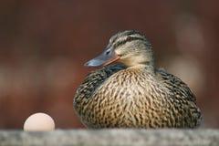 Hembra del pato con el huevo Foto de archivo libre de regalías