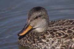 Hembra del pato del pato silvestre Fotos de archivo libres de regalías