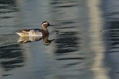 Hembra del pato rojizo septentrional - acuta de las anecdotarios imágenes de archivo libres de regalías