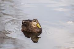 Hembra del pato silvestre Imagen de archivo