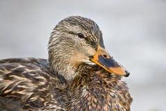 Hembra del pato silvestre - ascendente cercano Foto de archivo