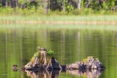 Hembra del pato silvestre en un tocón de árbol fotografía de archivo libre de regalías