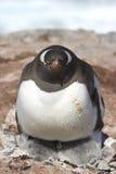 Hembra del pingüino de Gentoo polluelos de una calefacción dos Fotos de archivo