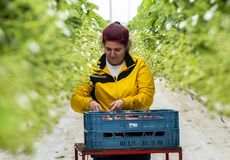 Hembra del trabajador en el invernadero Holanda Imagen de archivo libre de regalías