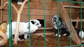 Hembra del zorro plata-negro en cuarto de niños público metrajes
