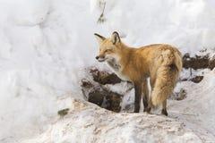 Hembra del zorro rojo Imagen de archivo libre de regalías