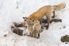 Hembra del zorro rojo Fotografía de archivo