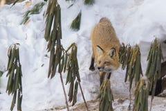 Hembra del zorro rojo Fotografía de archivo libre de regalías