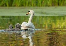 Hembra el cisne mudo con los polluelos, vista posterior fotografía de archivo
