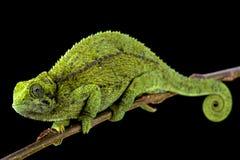 Hembra enana Montane tanzana del camaleón (sternfeldi de Trioceros) Foto de archivo libre de regalías