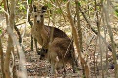 Hembra gris del este del canguro con su joey en Gold Coast austral Fotos de archivo