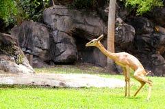 Hembra joven del gerenuk Fotografía de archivo