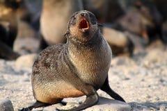 Hembra joven del oso del mar Imagen de archivo