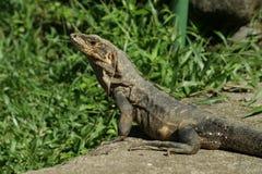 Hembra negra del ctenosaur Foto de archivo libre de regalías