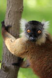 Hembra negra del lemur Fotografía de archivo