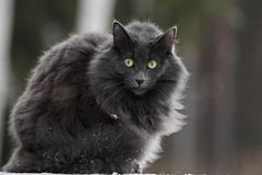 Hembra noruega del gato del bosque con una expresión muy alerta Fotos de archivo libres de regalías