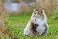 Hembra noruega del gato del bosque en prado con la capa sucia Imagen de archivo