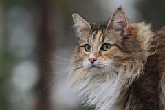 Hembra noruega del gato del bosque en una ventana Imágenes de archivo libres de regalías