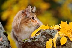 Hembra noruega joven del gato del bosque detrás de una piedra Fotos de archivo libres de regalías