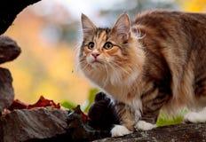 Hembra noruega joven del gato del bosque en una piedra Imagen de archivo