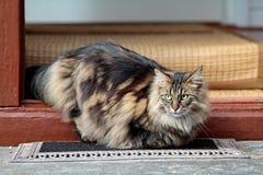Hembra noruega joven del gato del bosque que mira hacia fuera de una puerta Fotografía de archivo libre de regalías