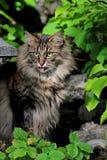 Hembra noruega joven del gato del bosque que mira hacia fuera de una puerta Imagen de archivo