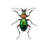 Hembra o Caterpillar-cazador del inquiridor de Calosoma del escarabajo de tierra i Imagen de archivo