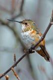 Hembra rufa del colibrí Imagen de archivo