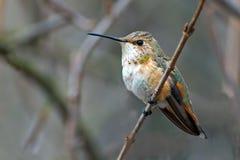 Hembra rufa del colibrí Imágenes de archivo libres de regalías