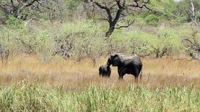 Hembra salvaje del elefante africano con el bebé, safari de África almacen de video